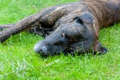 Cane marrone molto stanco del corpetto della canna nel giardino domestico un giorno soleggiato fotografie stock libere da diritti
