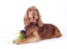 Cane maschio che gioca, 1 anno dello Spaniel di Cocker Fotografia Stock Libera da Diritti