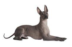 Cane messicano del xoloitzcuintle Fotografia Stock Libera da Diritti