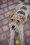 Cane metallico allegro del fox terrier Immagini Stock Libere da Diritti