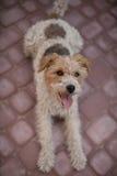 Cane metallico del fox terrier Fotografia Stock