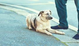 Cane mezzo sangue in bianco e nero del cucciolo curioso che si siede vicino al mA Immagini Stock