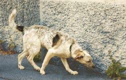 Cane mezzo sangue in bianco e nero del cucciolo curioso che sta al foo Immagine Stock Libera da Diritti