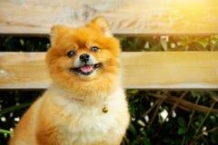 Cane mini Pomeranian arancio marrone nello stile d'annata del giardino fotografia stock