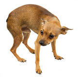 Cane mini - terrier di giocattolo russo Fotografia Stock Libera da Diritti