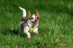 Cane minuscolo che va in giro un campo molto verde fotografia stock