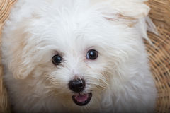 Cane minuscolo della razza del cucciolo di Shihtzu fotografie stock libere da diritti