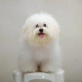 Cane minuscolo della razza del cucciolo di tzu di Shih fotografie stock libere da diritti