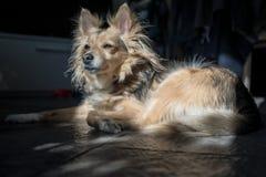 Cane misto della razza attentamente che guarda fuori una finestra mentre rilassandosi sul pavimento immagini stock
