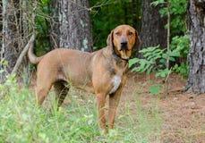 Cane misto della razza del Coonhound rosso Fotografia Stock Libera da Diritti