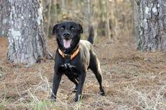 Cane misto della razza del Feist nero felice di Labrador con il collare arancio fotografia stock