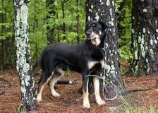 Cane misto della razza del pastore di Rottweiler che sta negli alberi sul guinzaglio, fotografia di adozione di salvataggio dell' fotografia stock