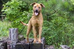 Cane misto della razza del segugio di Retreiver Vizsla Fotografia Stock Libera da Diritti