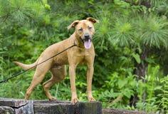 Cane misto della razza del segugio di Retreiver Vizsla Fotografia Stock