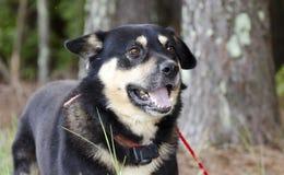 Cane misto della razza di Aussie Kelpie del pastore felice fuori sul guinzaglio rosso con il collare di scossa fotografia stock