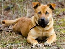 Cane misto della razza di Boxer Mastiff del pastore fotografia stock libera da diritti