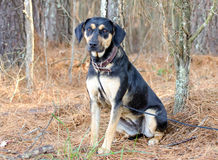Cane misto della razza di Tan Shepherd Hound e del nero fotografie stock libere da diritti