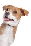 Cane Mixed della razza fotografia stock