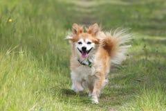Cane Mixed della razza sul percorso immagine stock libera da diritti