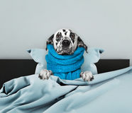 Cane molto ammalato fotografie stock libere da diritti
