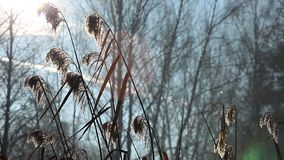 Cane and Morning Sunlight , Poland. stock footage