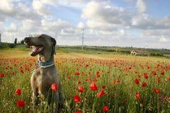 Cane nel campo 2 del papavero Fotografie Stock