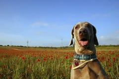 Cane nel campo 3 del papavero Fotografie Stock Libere da Diritti