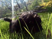 Cane nel campo con il sole che balugina Immagine Stock