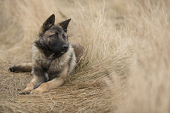 Cane nel campo di mais Immagini Stock