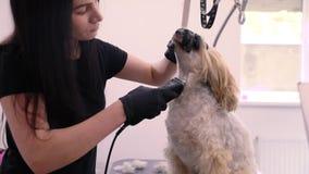 Cane nel salone governare dell'animale domestico che ottiene il taglio dei peli con il regolatore archivi video