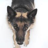 Cane nell'allarme Fotografie Stock