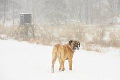 Cane nell'inverno Fotografie Stock Libere da Diritti