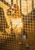 Cane nella cattività. Fotografie Stock