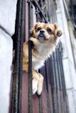 Cane nella finestra - Avana, Cuba Fotografia Stock