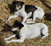Cane nella mangiatoia Andaluso del collettore del ratto Fotografia Stock