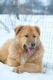 Cane nella neve Fotografie Stock Libere da Diritti