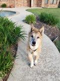 Cane nella passeggiata laterale dallo stagno immagine stock