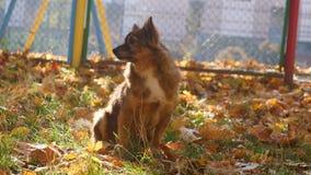 Cane nella sosta di autunno stock footage