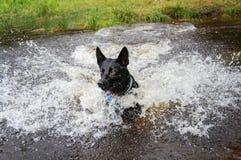 Cane nero in acqua che spruzza intorno immagini stock
