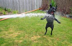 Cane nero assetato del Labrador Fotografia Stock Libera da Diritti