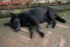 Cane nero che dorme sul pavimento del mattone rosso immagini stock
