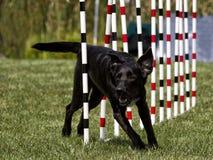 Cane nero che esegue il tessuto Pali di agilità fotografie stock libere da diritti