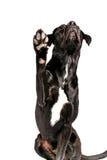 Cane nero che mostra zampa Immagini Stock