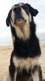 Cane nero che si siede sulla spiaggia Fotografie Stock