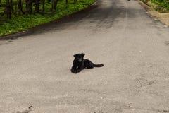 Cane nero che si siede sulla strada asfaltata che aspetta un'automobile per ucciderlo Cane suicida fotografia stock