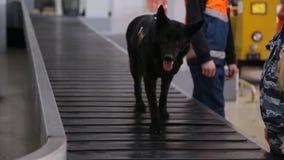 Cane nero che sorveglia il carosello del bagaglio alla ricerca delle sostanze proibite video d archivio