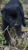 Cane nero del cucciolo Fotografia Stock