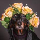 Cane nero del Dachsund in una corona dei fiori Fotografia Stock Libera da Diritti