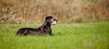 Cane nero del grande danese Fotografia Stock Libera da Diritti