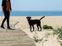 Cane nero del laboratorio sulla spiaggia che esamina la macchina fotografica Immagini Stock Libere da Diritti